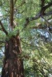 Árbol viejo con la corteza nudosa Foto de archivo libre de regalías