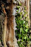 Árbol viejo con las hojas de la hiedra Imagen de archivo libre de regalías