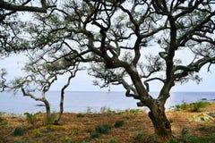 Árbol viejo con las ramas muertas en Colonia, Uruguay Imagen de archivo libre de regalías