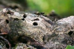 Árbol viejo con los agujeros en él Fotografía de archivo libre de regalías