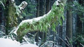 Árbol viejo con los helechos que crecen de él en nevadas metrajes