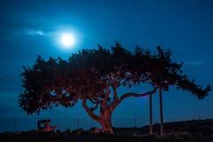 Árbol viejo de Chipre en un fondo del cielo nocturno Luna retroiluminada iluminada imágenes de archivo libres de regalías
