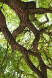 Árbol viejo de Crohn Foto de archivo libre de regalías