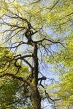Árbol viejo de la castaña de Indias f Fotografía de archivo