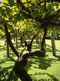 Árbol viejo de la uva Fotos de archivo libres de regalías