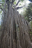 Árbol viejo del ficus en la selva de Australia Foto de archivo