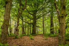 Árbol viejo en bosque Fotos de archivo libres de regalías