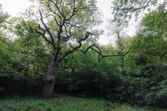 Árbol viejo en bosque Fotografía de archivo