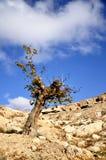 Árbol viejo en el campo en Maaloula Fotos de archivo