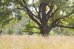 Árbol viejo en el parque nacional Hoge Veluwe, Países Bajos Fotos de archivo libres de regalías
