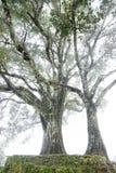 Árbol viejo en la niebla imagenes de archivo