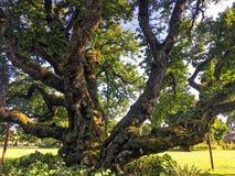Árbol viejo en Rose Garden, Oregon, los E.E.U.U. fotos de archivo