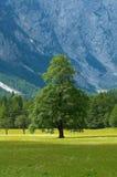 Árbol viejo en valle alpestre Foto de archivo libre de regalías