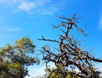 Árbol viejo Gnarly, costa de la piedra caliza Foto de archivo