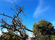 Árbol viejo Gnarly, costa de la piedra caliza Fotografía de archivo libre de regalías