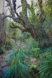 Árbol viejo grande con las plantas que suben en una corriente fotos de archivo