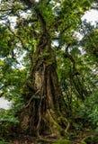 Árbol viejo grande en el bosque de Monteverde Imagen de archivo libre de regalías