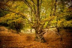 Árbol viejo grande en otoño imagenes de archivo