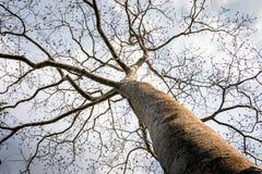 Árbol viejo grande sin la hoja en ramas fotos de archivo libres de regalías