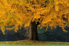 Árbol viejo hermoso con las hojas anaranjadas Fotos de archivo