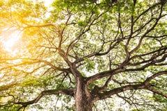 Árbol viejo poderoso con las ramas y la luz del sol brillante imagenes de archivo