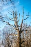 Árbol viejo putrefacto fotos de archivo
