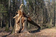 ?rbol viejo roto por el viento en el da?o del bosque causado por las tormentas en el ?rea del bosque fotografía de archivo
