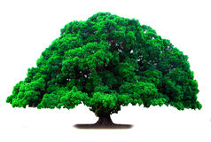 Árbol viejo verde Imagenes de archivo