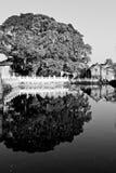 Árbol viejo y reflexión Fotografía de archivo