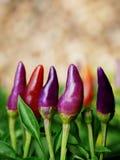 Árbol violeta del chile con la falta de definición del fondo Imagenes de archivo