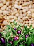 Árbol violeta del chile con la falta de definición del fondo Fotografía de archivo libre de regalías