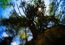 Árbol vivo gigantesco con la llamarada de la luz del sol Fotos de archivo libres de regalías
