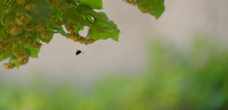 Árbol y abejas de tilo Imagenes de archivo