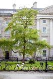 Árbol y bicicletas verdes en campus universitario Imágenes de archivo libres de regalías
