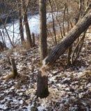 Árbol y castor Imagen de archivo libre de regalías