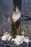 Árbol y castores en bosque Fotografía de archivo
