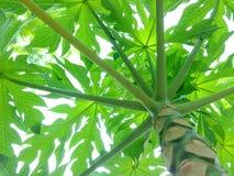 Árbol y hoja de papaya Imagen de archivo libre de regalías