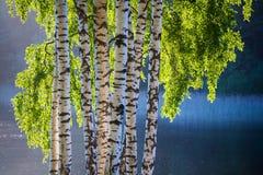 Árbol y hojas de abedul en colores del resorte Fotografía de archivo