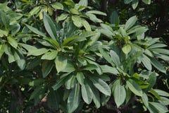 Árbol y hojas de la especie del higo o de los ficus Foto de archivo libre de regalías