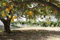Árbol y huerta de limón Fotos de archivo