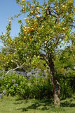 Árbol y jardín de limón Imagenes de archivo