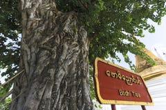 Árbol y muestra de Bodhi en la atracción del viaje de la pagoda de Shwedagon en la ciudad de Rangún Myanmar Asia Fotografía de archivo