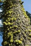 Árbol y musgo de pino Fotos de archivo libres de regalías