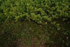Árbol y musgo de pino Imagenes de archivo