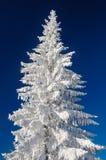 Árbol y nieve de abeto en fondo del cielo azul Fotografía de archivo libre de regalías