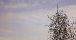 Árbol y nubes de abedul almacen de video