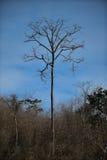 Árbol y nubes secos en cielo azul Foto de archivo libre de regalías