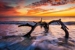 Árbol y ondas en el Océano Atlántico en la salida del sol en la madera de deriva Bea Foto de archivo