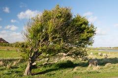 Árbol y ovejas en el Horspolders en el holandés Texel fotografía de archivo libre de regalías