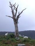 Árbol y ovejas muertos Imagen de archivo